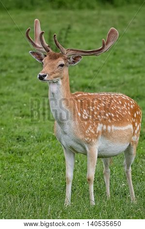 Fallow deer in a clearing in the wild