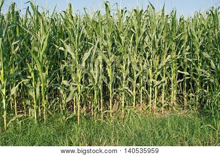 Green Corn Field with mealies on the stalk