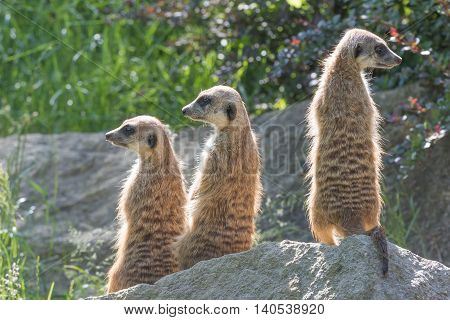 Trinity of Meerkats sitting on a rock in the upright position. The two are looking to the left and one on the right.