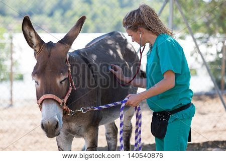 Veterinary performing a medical examination to a donkey