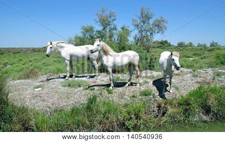 traditional white Camargue Horses at watering Place,France