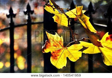 Close up of autumn yellow Maple leaves