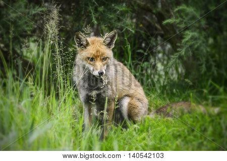 Stunning Male Fox In Long Lush Green Grass Of Summer Field