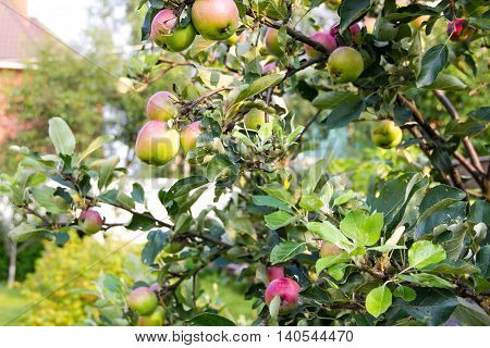 Red and green apples growing on an apple tree in the garden. Apples on a branch. concept of harvest organic is not treated with pesticides apples