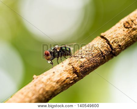 Closeup macro of green fly or greenbottle fly on branch eating food by spit saliva liquefy on it food that the enzymes can make it possible for them to eat the food. This habit called Propagating Transmission.