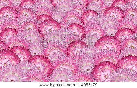 Various Pink Strawflowers Background