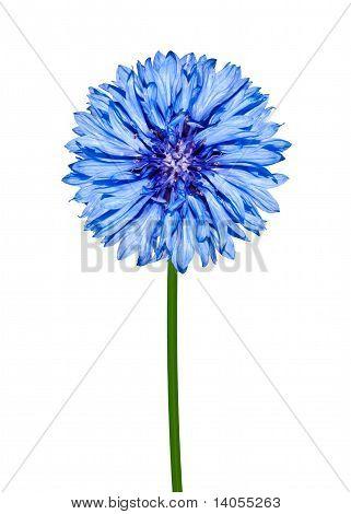 Blue Cornflower Isolated On White