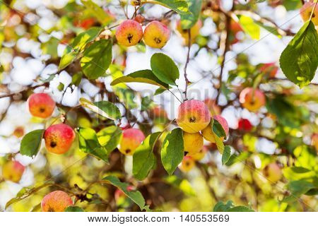 Red apples on apple tree branch. Early autumn harvest. Natural rural background with fruit tree in sunny day. Apples full of vitamins good for diet nutrition and healthy meals.
