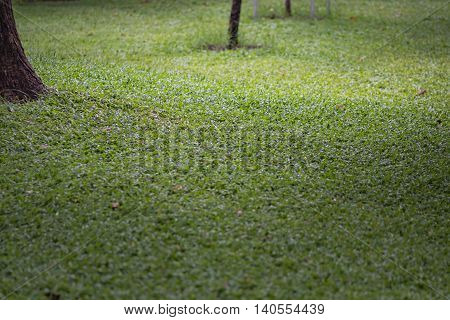 Close up of green grass texture in the garden with sunlight.