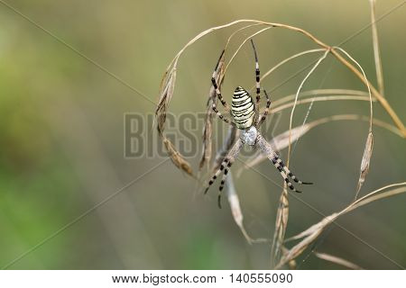 Spider lurks prey. Spider on a spider web in wild nature. Argiope bruennichi.