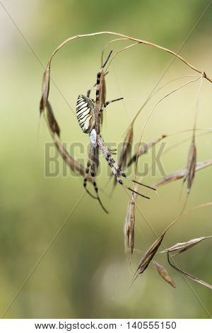 Spider lurks prey. Spider on a spider web in wild nature. Argiope bruennichi.