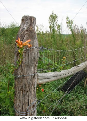 Day Lily On Country Fenceline