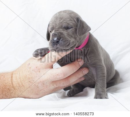 Hand helping hold up a purebred Great Dane puppy that is very young