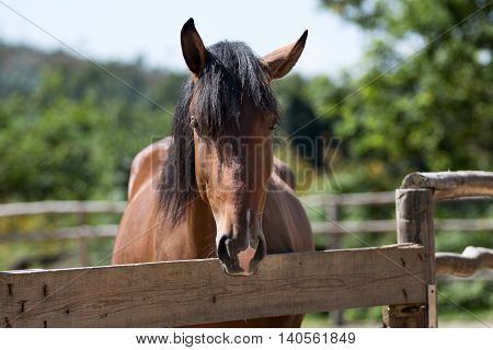 Bay lusitano horse behind a fence, looking curiously
