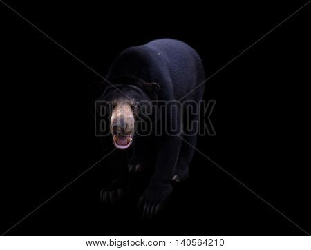 Malayan Sun Bear  In Dark Background