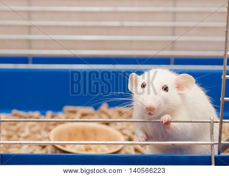 Cute funny big-eared rat in a cage (shallow DOF selective focus on the rat eyes)