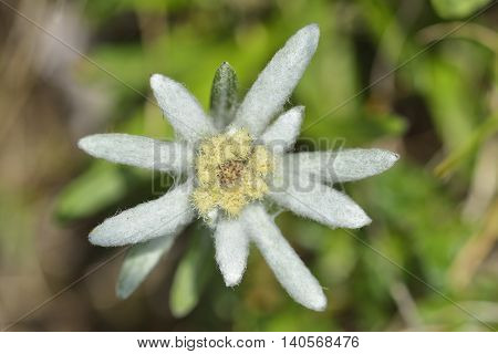 Blooming edelweiss flower in nature, Piatra Craiului National Park
