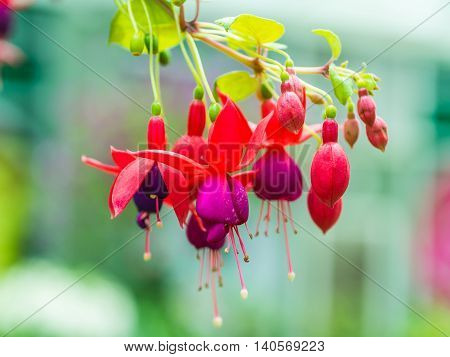 Closeup Beautiful fuchsia flowers on blur background