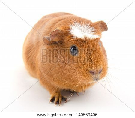 Funny-looking guinea pig (isolated on a white background)