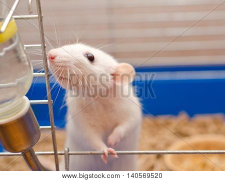 Cute funny big-eared rat in a cage (shallow DOF selective focus on the rat nose)