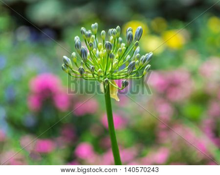 Closeup African lily Agapanthus flower in garden