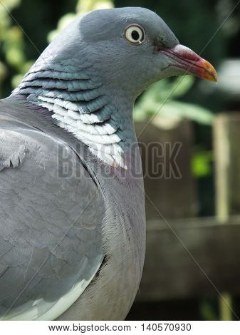 Close up view of a Wood Pigeon