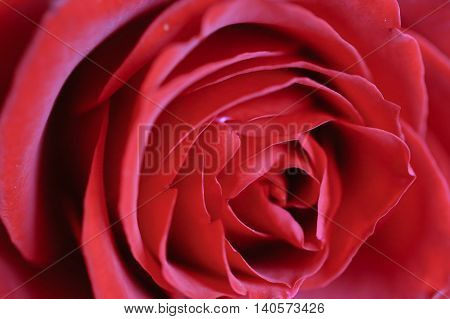 rose Red Flower love happiness sweetheart background