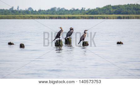 Cormorants on lake Paleostomi Poti Georgia, nature