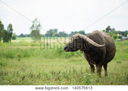 Buffalo Grazing On Green Grass Field.