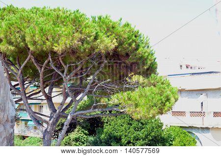 large green mediterranean pine tree south france