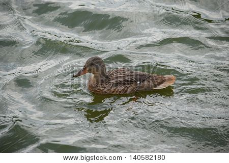 a lone duck swimming in choppy water.