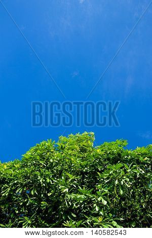 Tropical tree shown up in front of beautiful and cloudless sky.