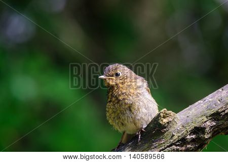 Young juvenile Robin perching on a branch