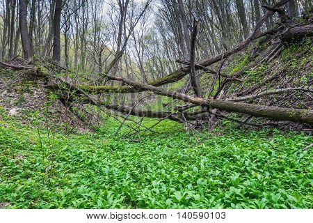 Wild Garlic (Allium ursinum) plantation in the wild forest a windbreak in the background