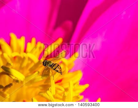 Close-up of a hover fly taking nectar from a peony flower.