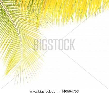 Yellow coconut leaf isolated on white background