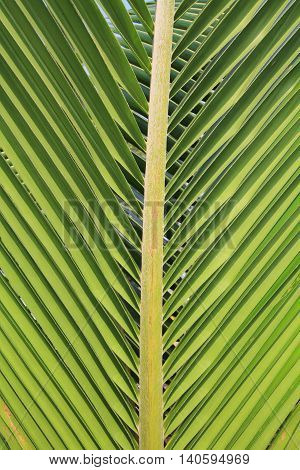 Green coconut leaf use as natural background