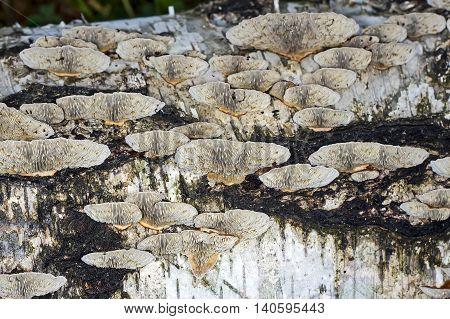 Lenzites birch (lat. Lenzites betulinus) is a mushroom species included in the genus Lenzites (Lenzites) family Polyporaceae (Polyporaceae). Group of mushrooms on a Birch trunk