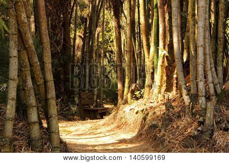 Bamboo Forest in the Koreshan Historic State Park in Estero, Florida