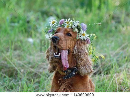 The dog breed English Cocker Spaniel with a wreath of wildflowers on her head