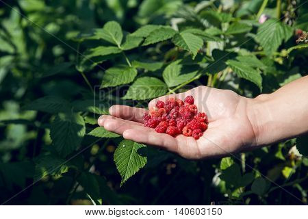 one hand holds in the palm of a handful of fresh ripe red raspberries on a background of green bushes in the forest in summer