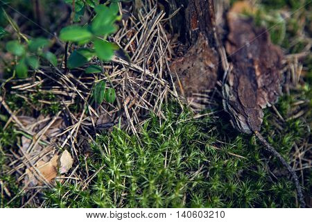 macro moss, dry spruce needles, tree bark in a pine forest in summer