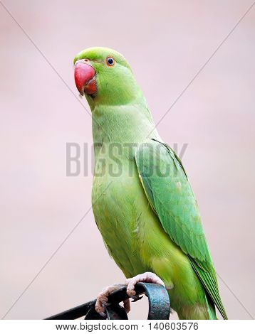 Portrait of a green Collar-Parakeet with red Beak