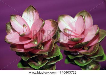 Curcuma is a tropical plant. Curcuma is also called turmeric or curry