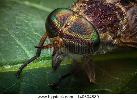 Close up macro horse fly on green leaf daytime