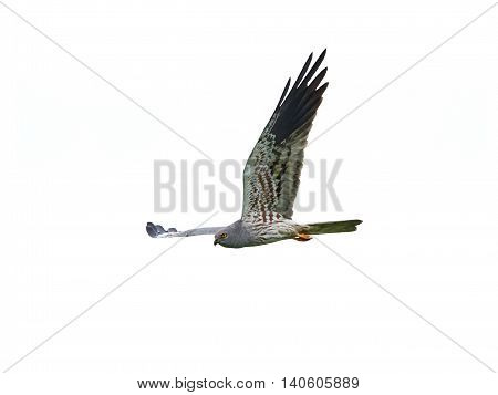 Montagus harrier (Circus pygargus) in flight isolated on a white background
