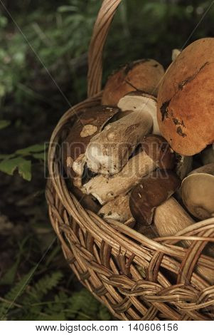 Basket with mushrooms. Group of boletus in the forest. Good harvest of eatable fungus