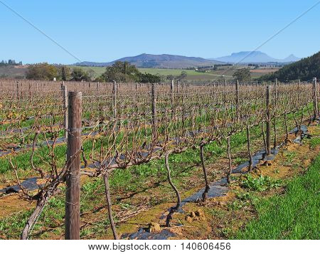 Grape Farm, Paarl, Western Cape South Africa