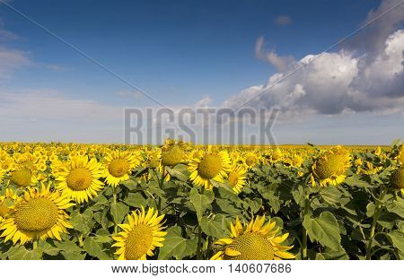 field of blooming sunflowers on a background sunset. Stock photo