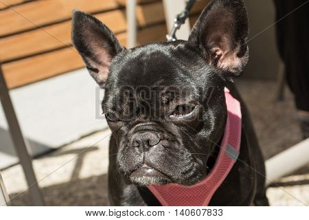 Black French Bulldog looks thoughtfully to himself